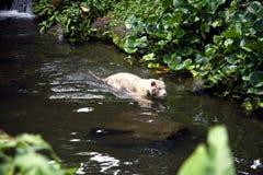 白色老虎游泳在河 图库摄影