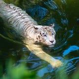 白色老虎游泳在清楚的水中 免版税库存图片