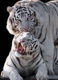 白色老虎豹属底格里斯河bengalensis被隔绝在黑色 库存图片