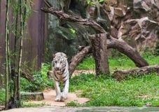 白色老虎走的放松 图库摄影