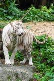 白色老虎,当寻找某事吃时 库存图片