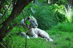 白色老虎 巴厘岛印度尼西亚 免版税库存图片