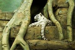 白色老虎 免版税图库摄影