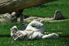 白色老虎 免版税库存照片