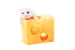 白色老鼠和乳酪 免版税图库摄影