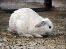 白色肥胖兔子 库存照片