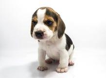 白色背景小猎犬狗  免版税图库摄影