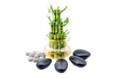 白色背景的一棵幸运的竹植物 免版税图库摄影