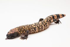 白色背景的大毒蜥怪物 免版税库存图片