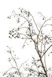 白色背景的干燥死的植物 桤木分支  库存照片