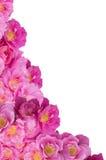 白色背景的桃红色布什玫瑰角落 免版税库存图片