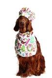 在烹饪帽子的爱尔兰赤毛的塞特种猎狗狗 免版税库存图片