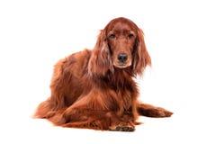 白色背景的爱尔兰赤毛的塞特种猎狗 免版税库存图片