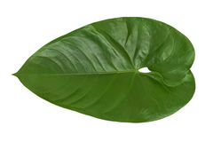 白色背景的被隔绝的美丽的绿色爱树木的人叶子植物 免版税库存照片