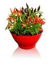 白色背景的辣椒植物 免版税库存图片