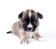 白色背景的逗人喜爱的奇瓦瓦狗婴孩 库存照片