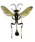 白色背景的黑人和黄色泥蜂 免版税图库摄影
