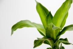 白色背景的绿色植物 免版税图库摄影