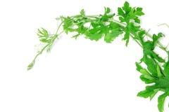 白色背景的绿色爬行植物 免版税库存图片