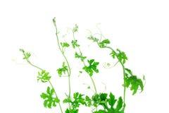 白色背景的绿色爬行植物 库存图片