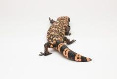 白色背景资料的大毒蜥怪物 免版税图库摄影