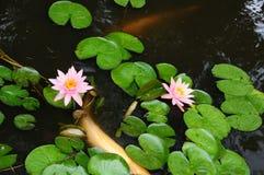 白色腼腆的鱼在有睡莲叶的一个池塘 库存照片