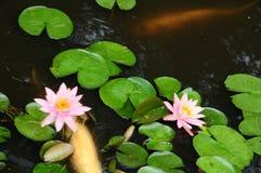 白色腼腆的鱼在有睡莲叶的一个池塘 免版税库存照片