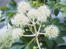 白色花粉 库存照片