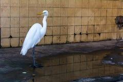 白色苍鹭和水坑 图库摄影