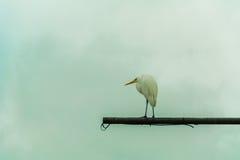 白色苍鹭在天空下 库存图片