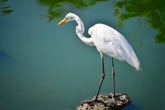 白色苍鹭在岩石站立在湖附近 免版税库存图片