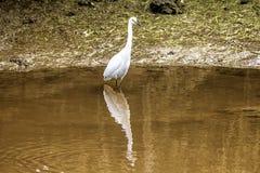 白色苍鹭在湖 库存图片