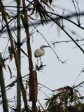 白色苍鹭坐竹子 免版税图库摄影