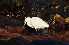白色苍鹭渔 免版税图库摄影