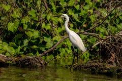 白色苍鹭白鹭Ardea晨曲故意在一条长凳在多瑙河 库存照片