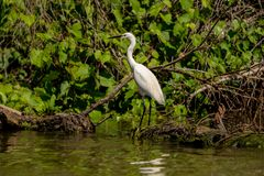 白色苍鹭白鹭Ardea晨曲故意在一条长凳在多瑙河 免版税库存图片