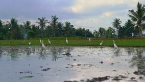 白色苍鹭群在被归档的米的 领域用泥泞的水报道并且为米种植准备 ?? 影视素材