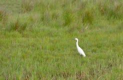 白色苍鹭鸟 免版税库存图片