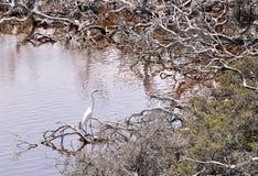 白色苍鹭:湖Coogee,西澳州 免版税库存图片