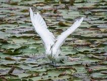 白色苍鹭离开 免版税库存照片
