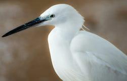 白色苍鹭画象 免版税库存图片