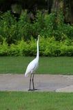 白色苍鹭 库存图片