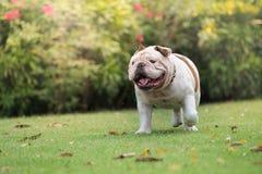 白色英国牛头犬笑和奔跑在绿草在公开同水准 库存图片