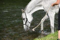 白色英国良种马在河 图库摄影