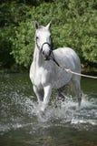 白色英国良种马在河 免版税库存照片