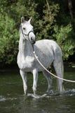 白色英国良种马在河 库存图片