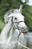 白色英国良种马疯狂的画象  库存图片