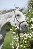 白色英国良种马疯狂的画象  免版税图库摄影