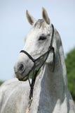 白色英国良种马画象与三角背心的 免版税图库摄影