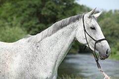 白色英国良种马画象在河前面的 免版税库存照片